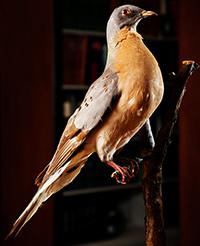 """Nevjerojatna je činjenica da je članak o izumiranju goluba selca, te sjevernoameričke ptičje vrste, u Hrvatskoj objavljen već u prosincu 1915. godine u časopisu PRIRODA (broj 10, stranice 154-157), napisan od strane nepoznatog autora pod naslovom """"Povodom smrti zadnjeg goluba selca"""". Članak je opremljen i jednom ilustracijom, a dokazuje kako je hrvatsko prirodoslovlje već u ono vrijeme pratilo svjetske aktualnosti i teme. Danas se golub selac u nas spominje uglavnom u stručnim predavanjima na studiju biologije i ekologije, a najbliži preparirani primjerak ove vrste može se vidjeti u prirodoslovnom muzeju u Beču."""